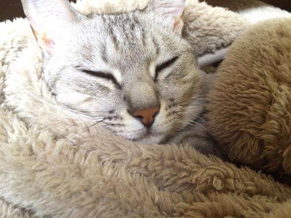 着る毛布を買った感想…暖かいわ安いわでマジでオススメな件【猫も喜んで入ってきます】