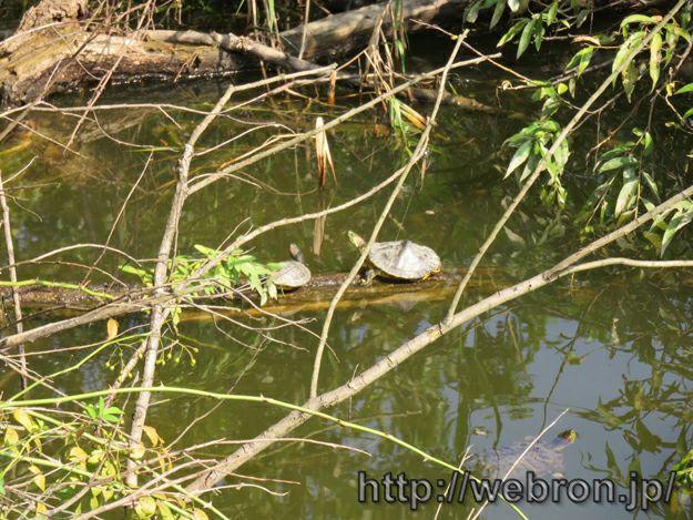 ヤカン池の生物達