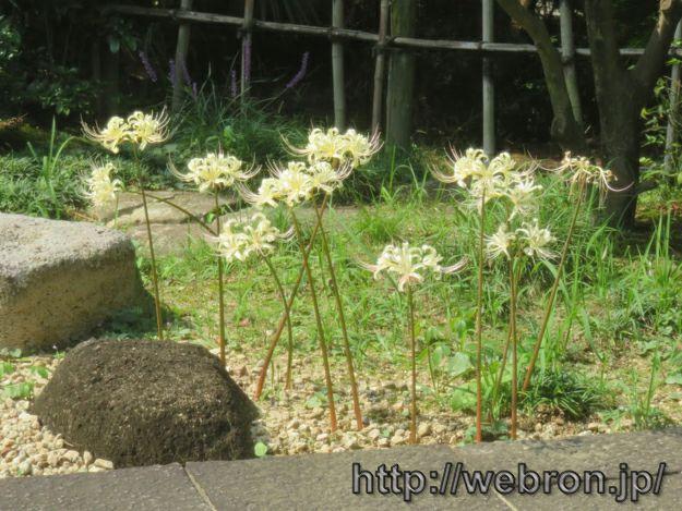 嚶鳴庵にある彼岸花