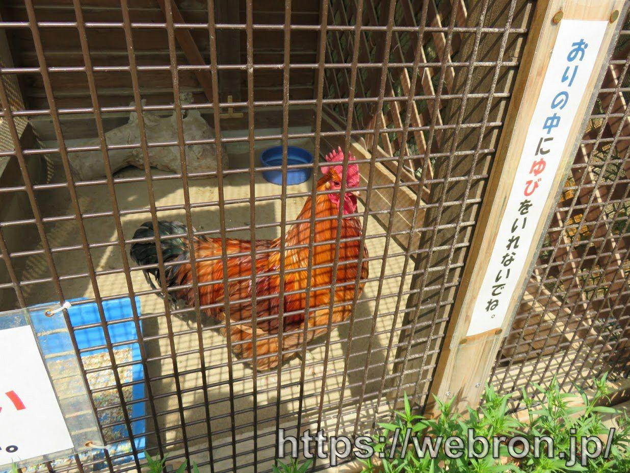 ちびっこ動物村の名古屋コーチン