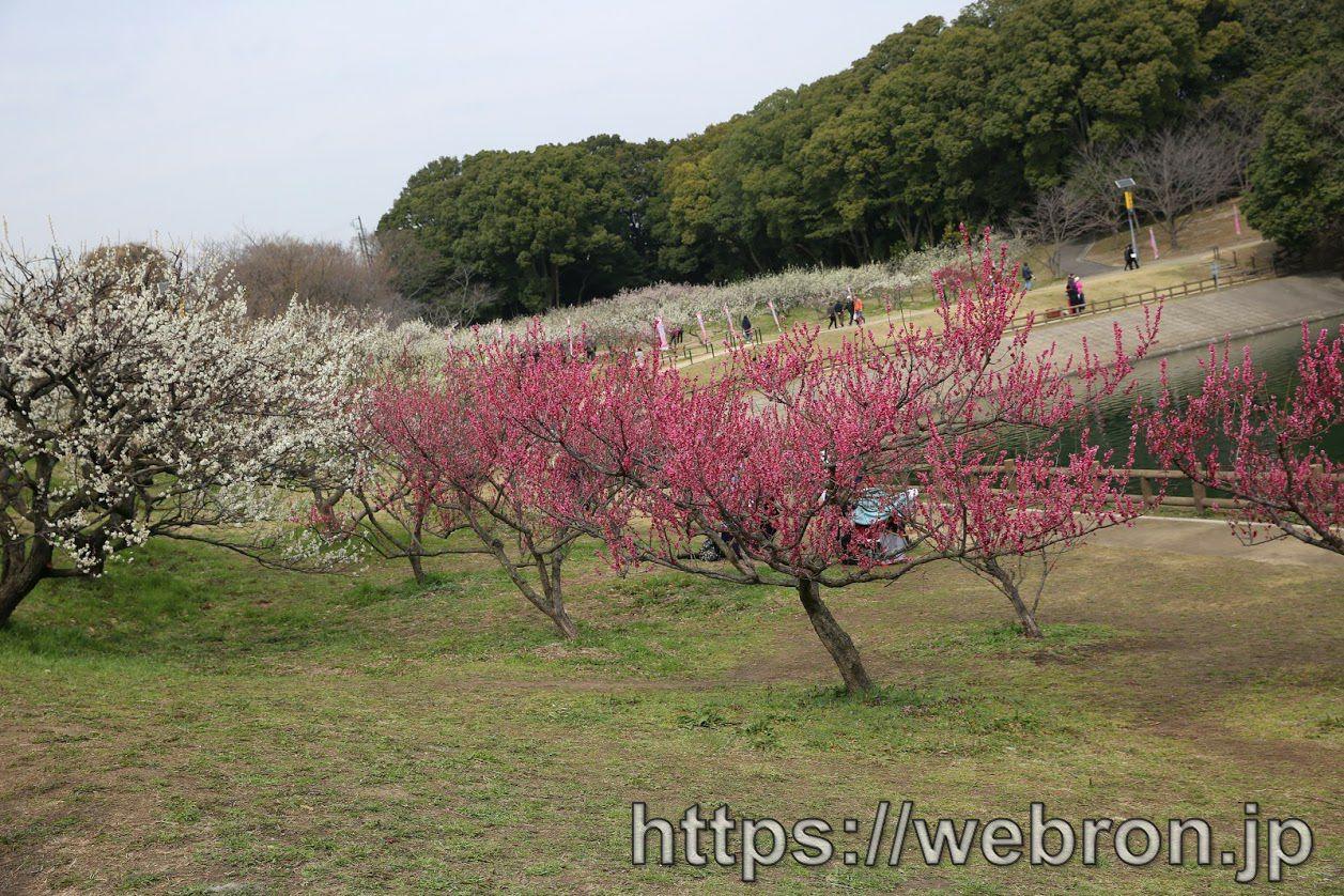 梅まつりの梅の花